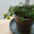 山野草の新しいものが増えました 花が終わってもお部屋の中で緑 […]